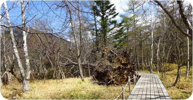 A fallen tree is left as it, while the walkway winds its way around it.